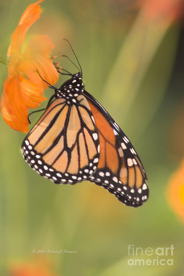Monarch Butterfly by Richard J Thompson