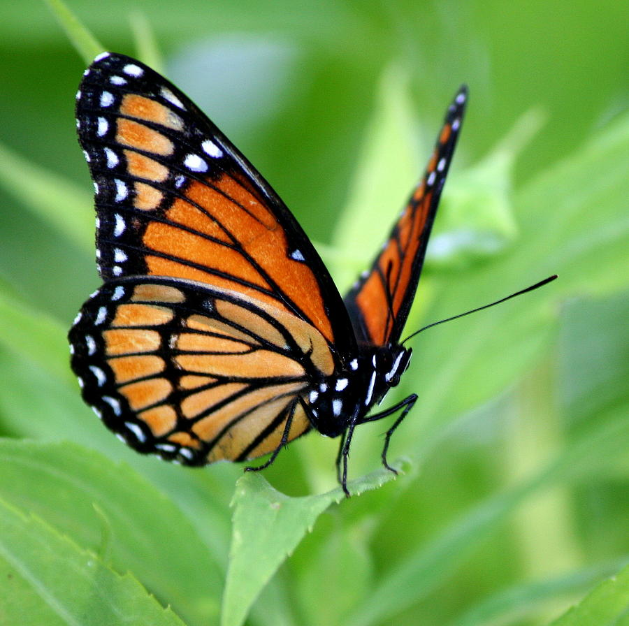 Butterfly Photograph - Monarch Dreaming  by Neal Eslinger