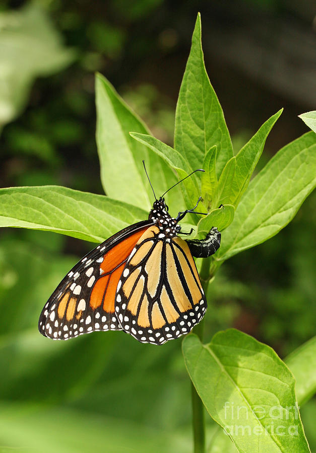 Monarch Photograph - Monarch Egg Time by Steve Augustin