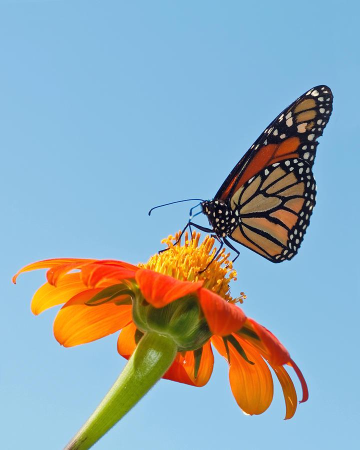 Award Winner Photograph - Monarch II by Dawn Currie
