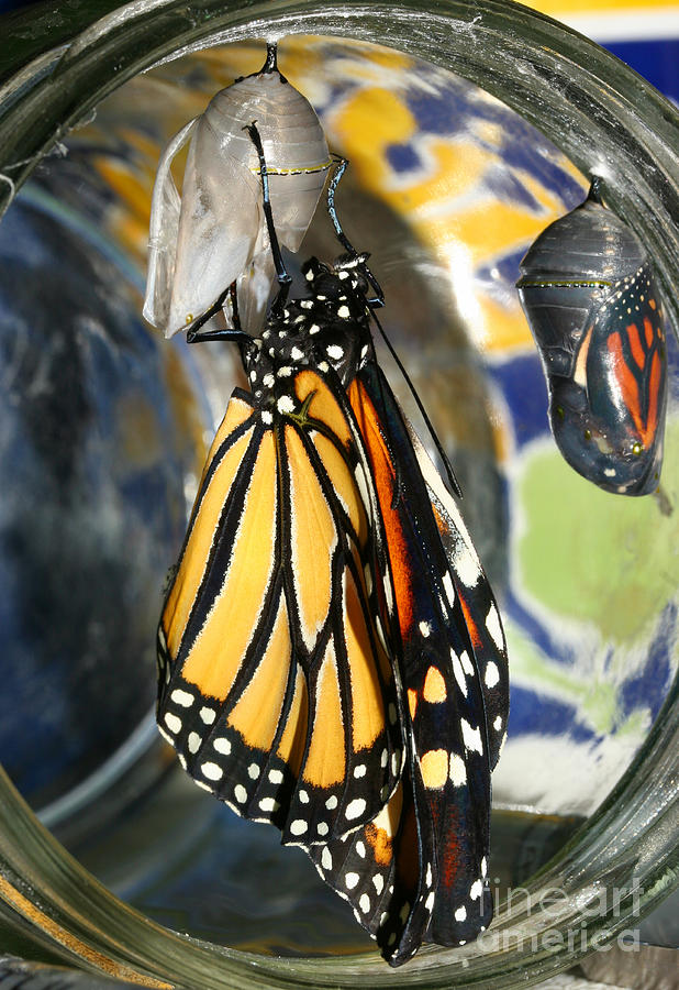 Monarch Photograph - Monarch In A Jar by Steve Augustin