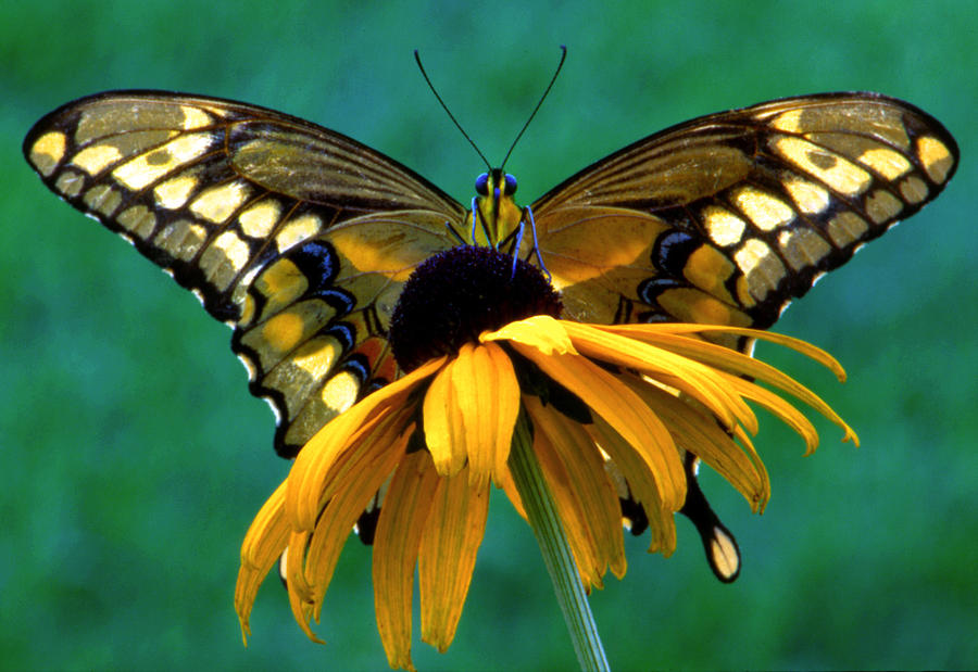 Monarch on Black Eyed Susan by Pristine Images