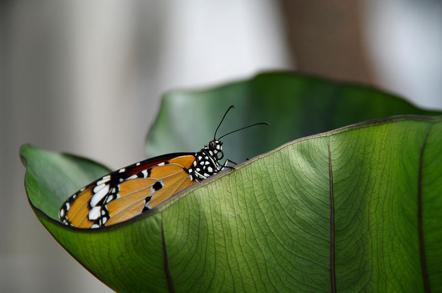Butterfly Photograph - Monarch by Vince  Risner