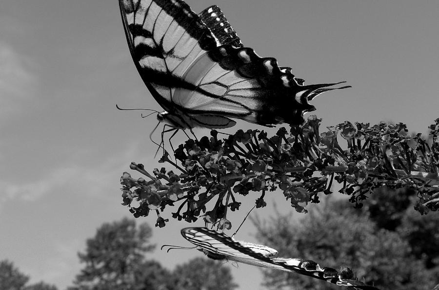 Swallowtail Photograph - Swallotail In Black And White by Kim Galluzzo Wozniak