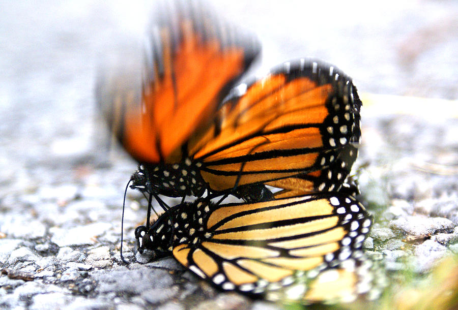 Monarch Photograph - Monarchs In Love by Thomas Bomstad