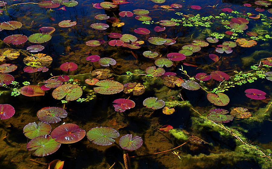 Lily Pad Photograph - Monet by Linda Dyer Kennedy