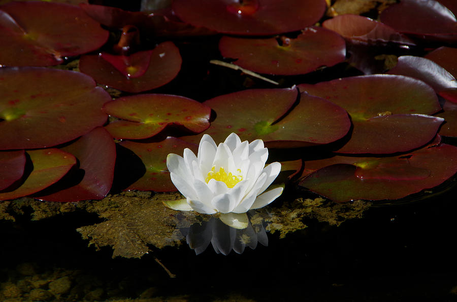 Water Lilies Photograph - Monet Memories by Marilyn Wilson