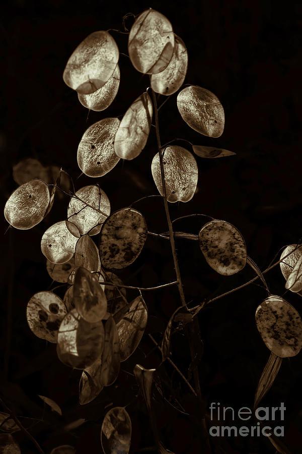 Lunaria Annua Photograph - Money Plant by Jeff Breiman