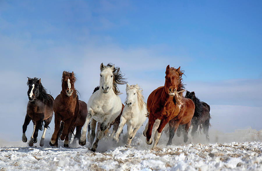 Winter Photograph - Mongolia Horses by Libby Zhang