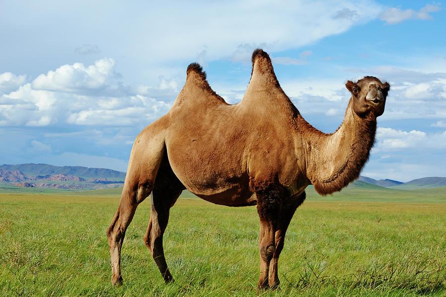 Mongolia,  Zavkhan, Bactriane Camel On Photograph by Tuul & Bruno Morandi