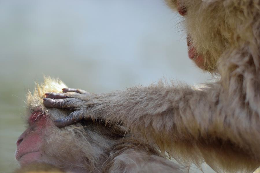 Monkey Head Massage Photograph by Electravk