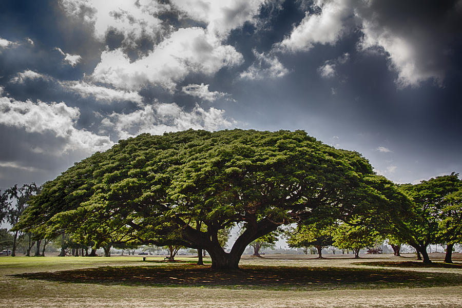 Monkey Pod Tree Oahu Hawaii Photograph By Douglas Barnard