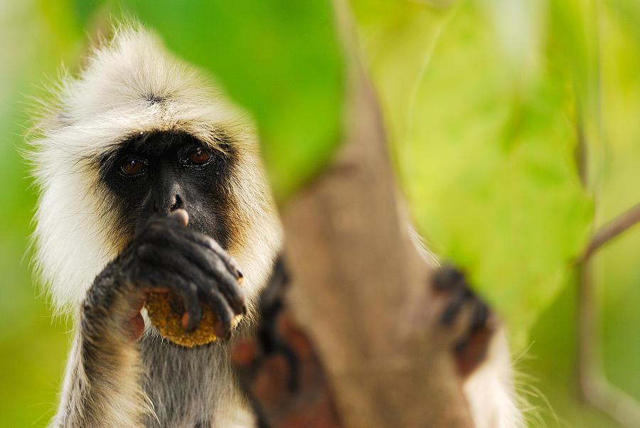Langur Photograph - Monkey See by Stefan Carpenter