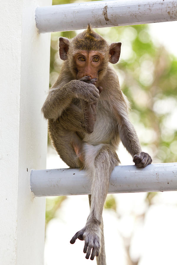 Animal Photograph - Monkeys Cute Sitting On A Steel Fence by Tosporn Preede
