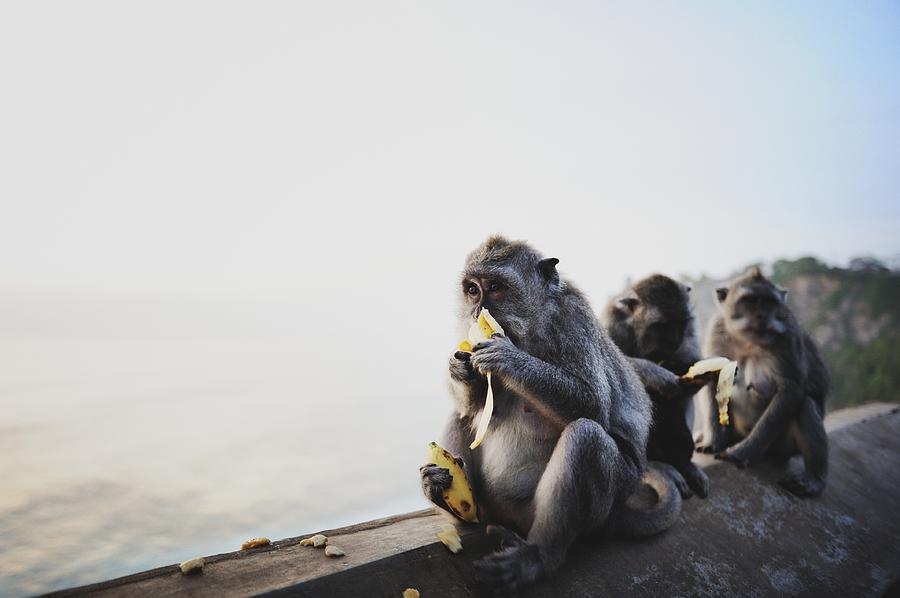 Monkeys Eating Bananas Photograph by Carlina Teteris