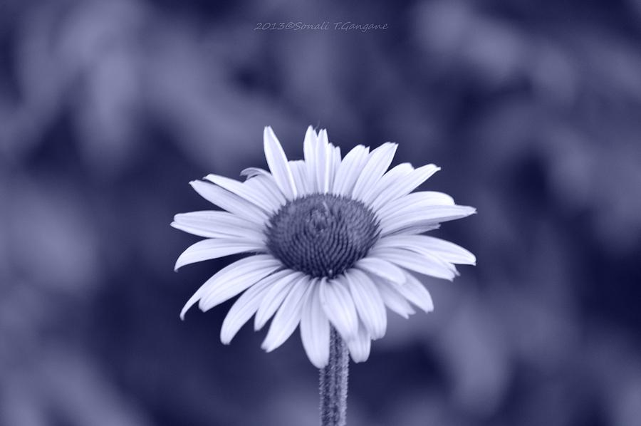 Cone Flower Photograph - Monochrome Aster by Sonali Gangane