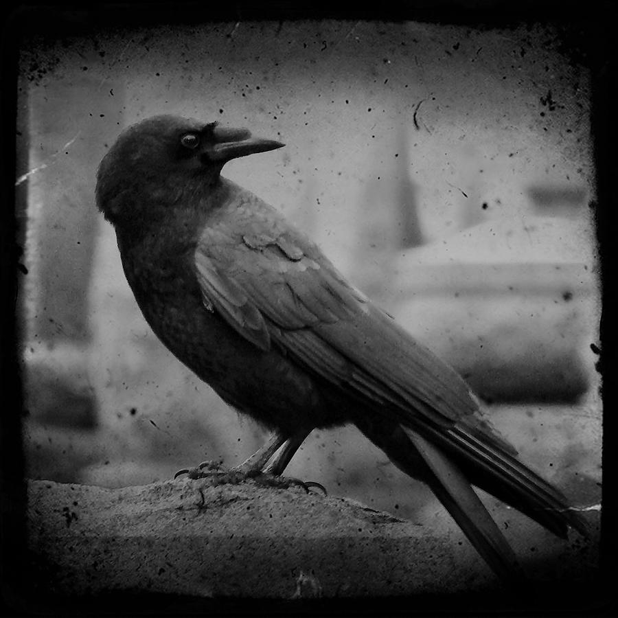 Monochrome Photograph - Monochrome Crow by Gothicrow Images