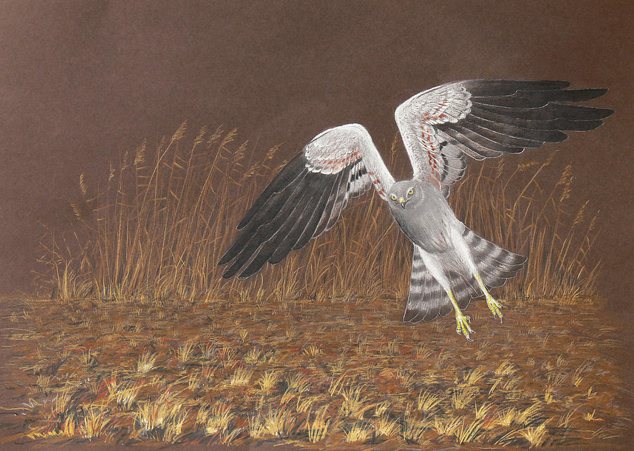 Montagu's Harrier Drawing - Montagus Harrier by Deak Attila