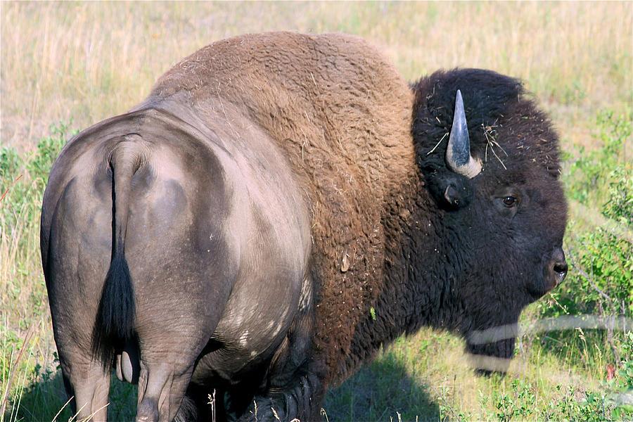 Bison Photograph - Montana Buffalo Bison Bull by Karon Melillo DeVega