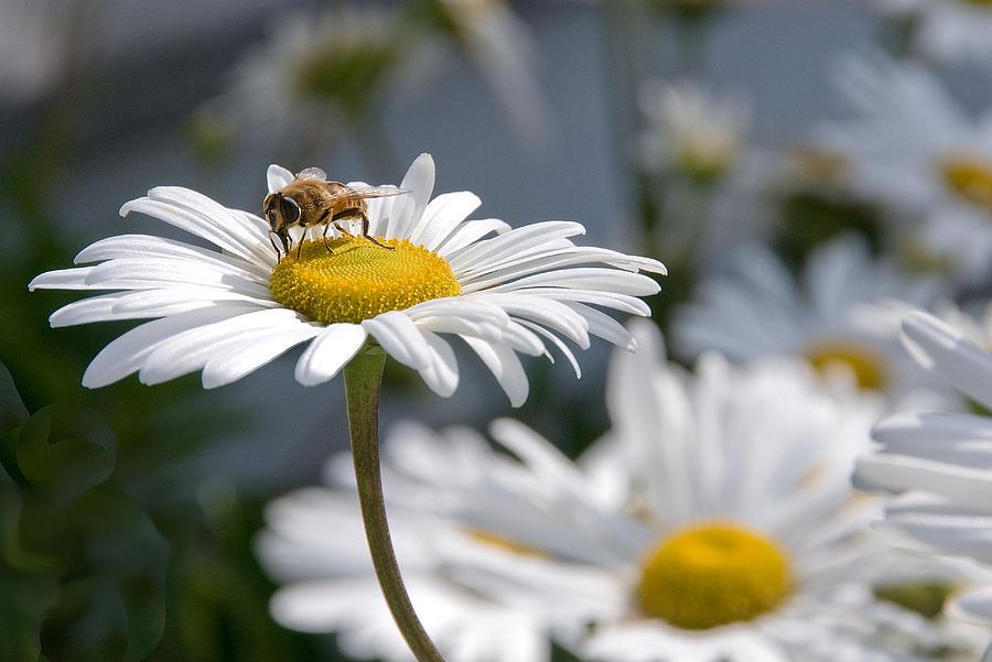 Daisy Photograph - Montauk Daisy With Bee  by Bob Mulligan