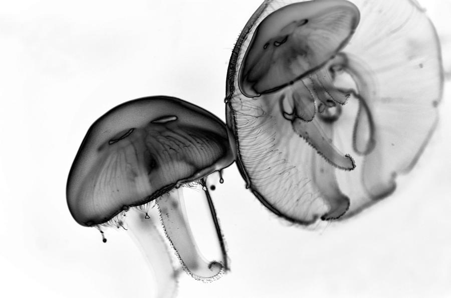 Moon Jelly Photograph - Moon Jellyfish - Black And White by Marianna Mills