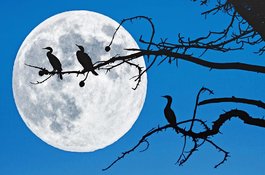 Birds Photograph - Moonlit Cormorants by Donna Pagakis