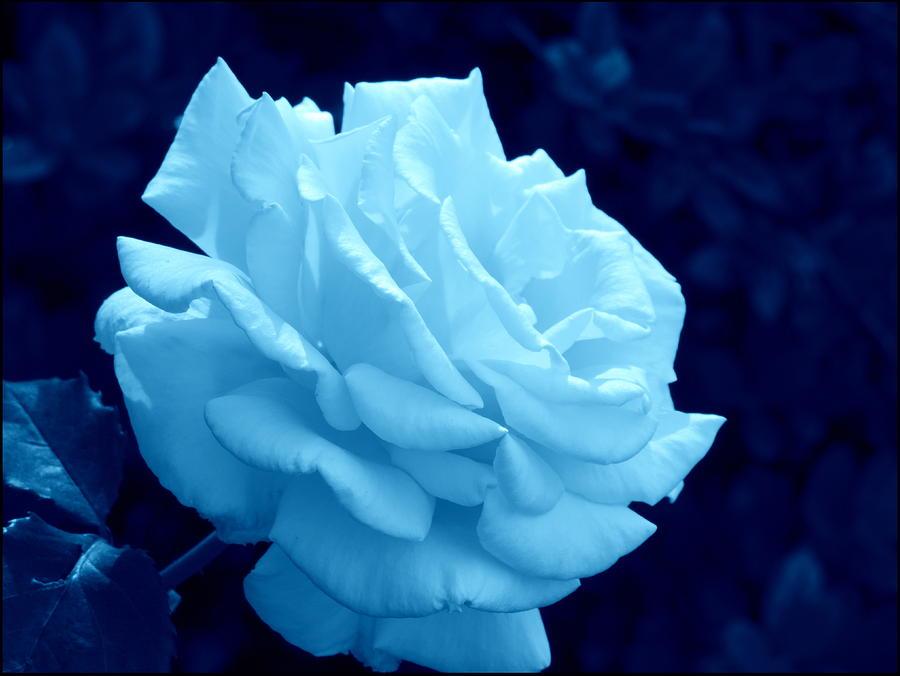 White Photograph - Moonlit Rose by Cathy Jourdan