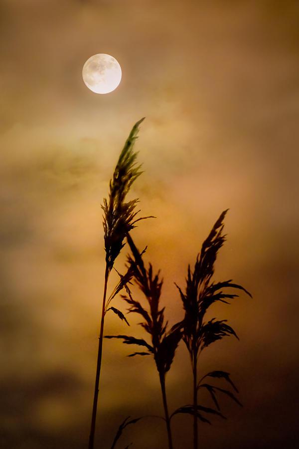 Moon Photograph - Moonlit Stalks by Gary Heller