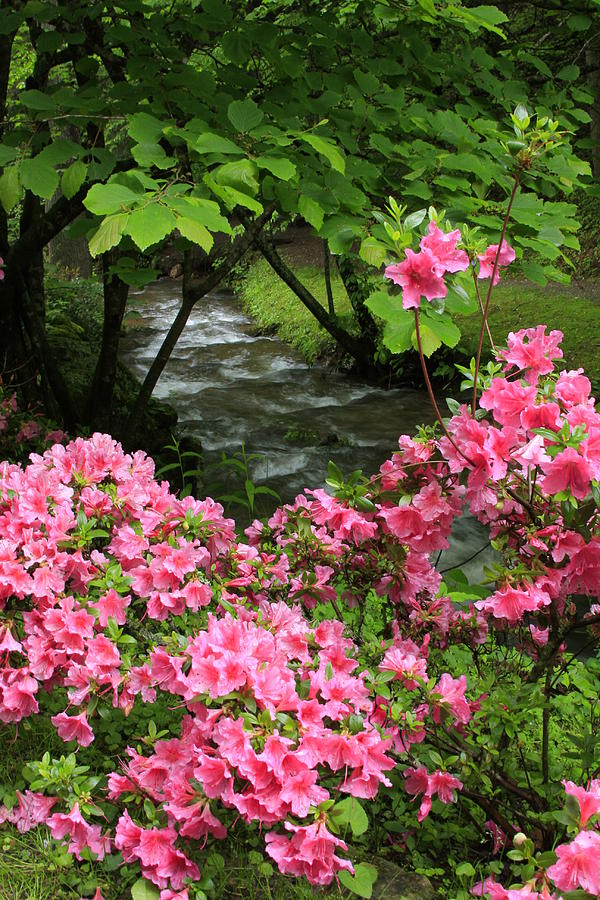 Moonshine Creek Rhododendron Bloom - North Carolina Photograph