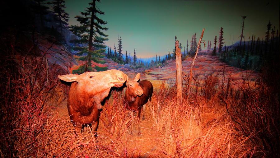 Moose Photograph - Moose ..algonkian by Larry Trupp