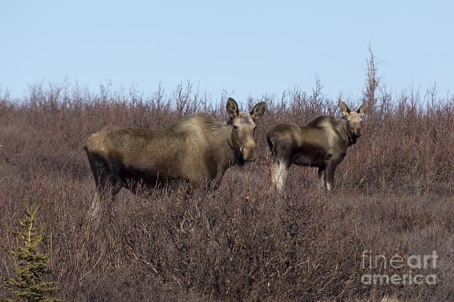 Alaska Pyrography - Moose And Calf by Al Sheldon