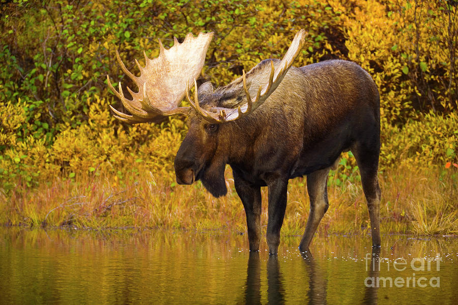 Mp Photograph - Moose In Glacial Kettle Pond  by Yva Momatiuk John Eastcott