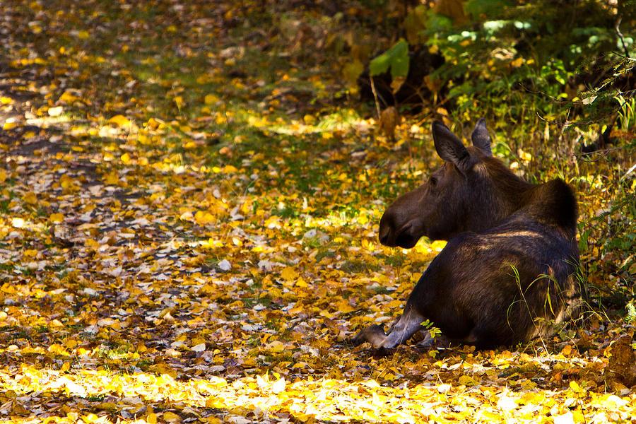 Moose Photograph by Richard Jack-James