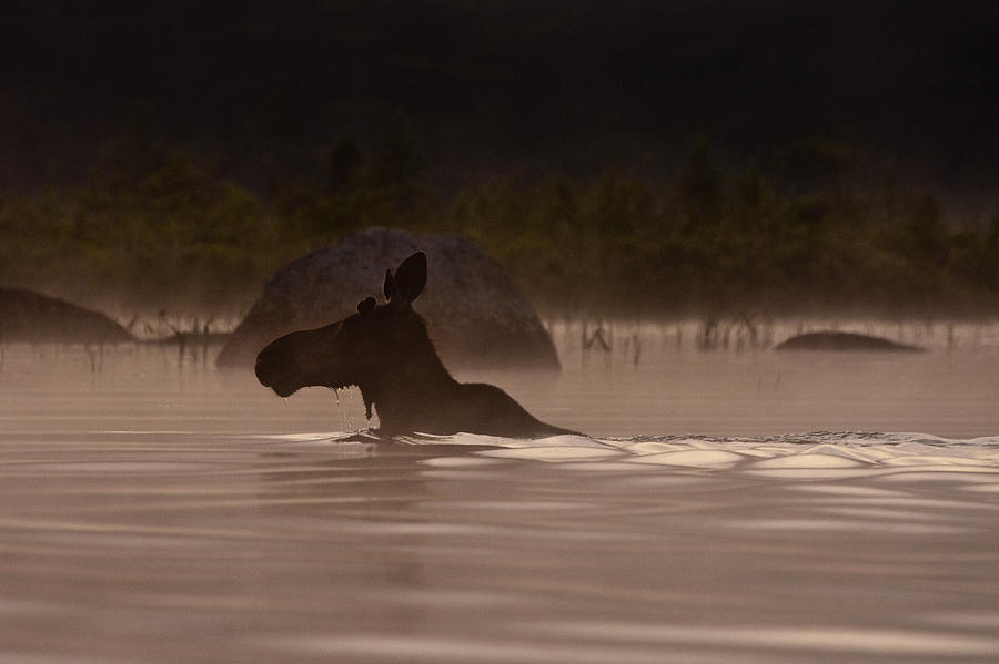 Moose Photograph - Moose Swim by Brent L Ander