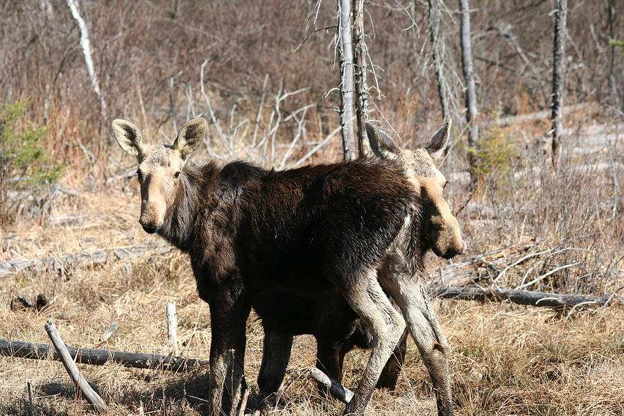 Moose Photograph - Moose X Two by Carolyn Reinhart