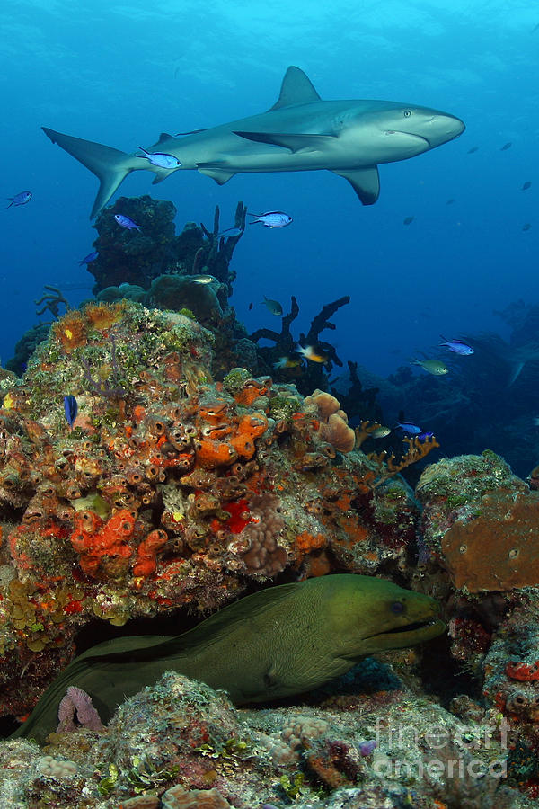 Shark Photograph - Moray Reef by Carey Chen
