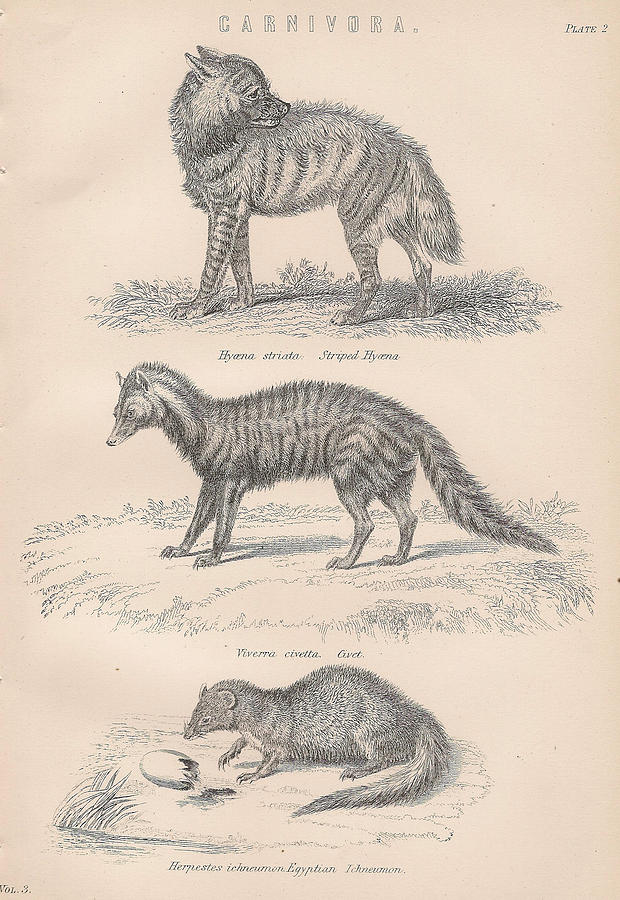 More Carnivorous Animal Drawings Drawing by Anon