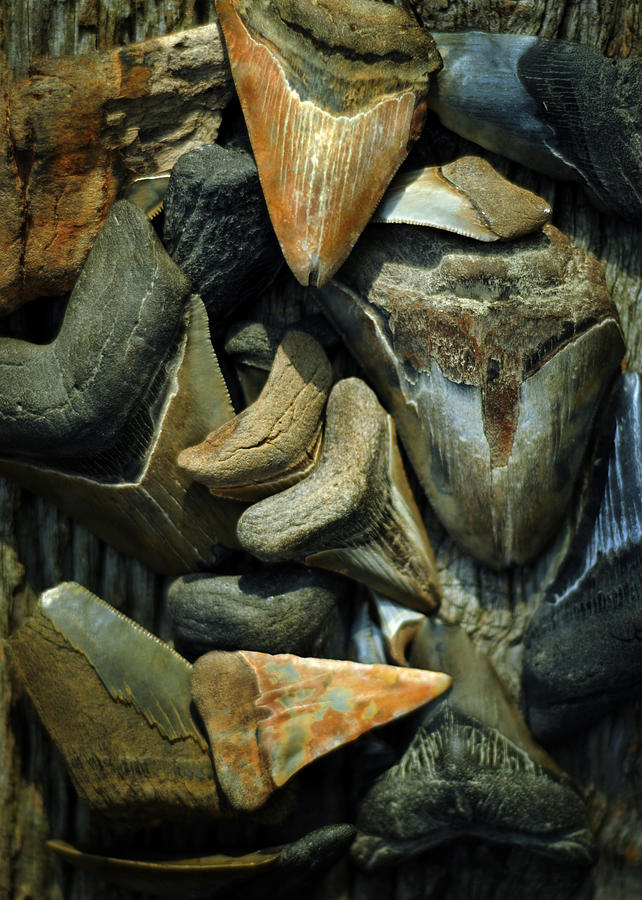 More Megalodon Teeth by Rebecca Sherman