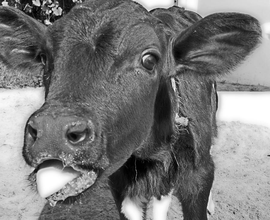 Calf Photograph - More Milk Please by Victoria Sheldon