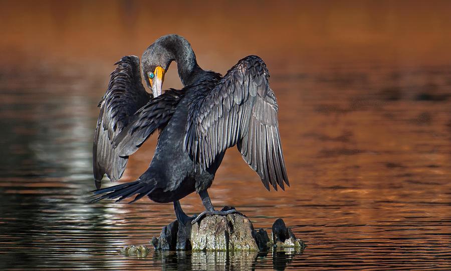Rainbow River Photograph - Morning Cormorant by David Bond