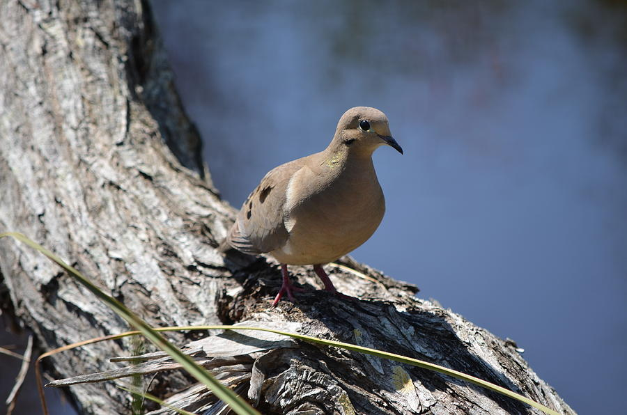 Morning Dove Photograph