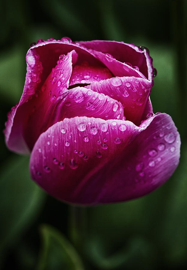 Tulip Photograph - Morning Due Drops by Kim Andelkovic