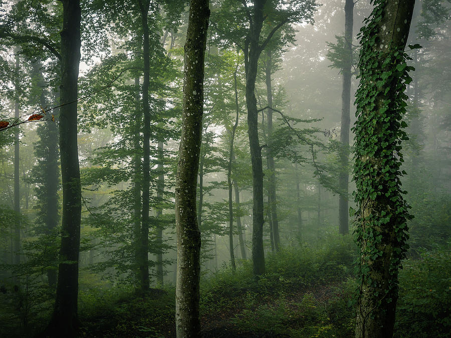 Morning Fog In The Forest Photograph by Photography By Daniel Frauchiger, Switzerland