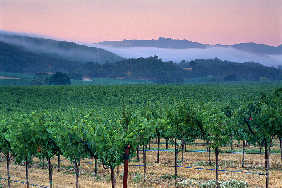 Cool Photograph - Morning Fog Over Vineyards In The Alexander Valley  by Gary Crabbe