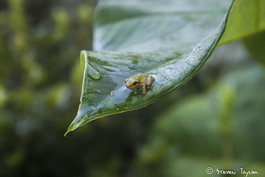 Frog Photograph - Morning Frog  by Steven  Taylor