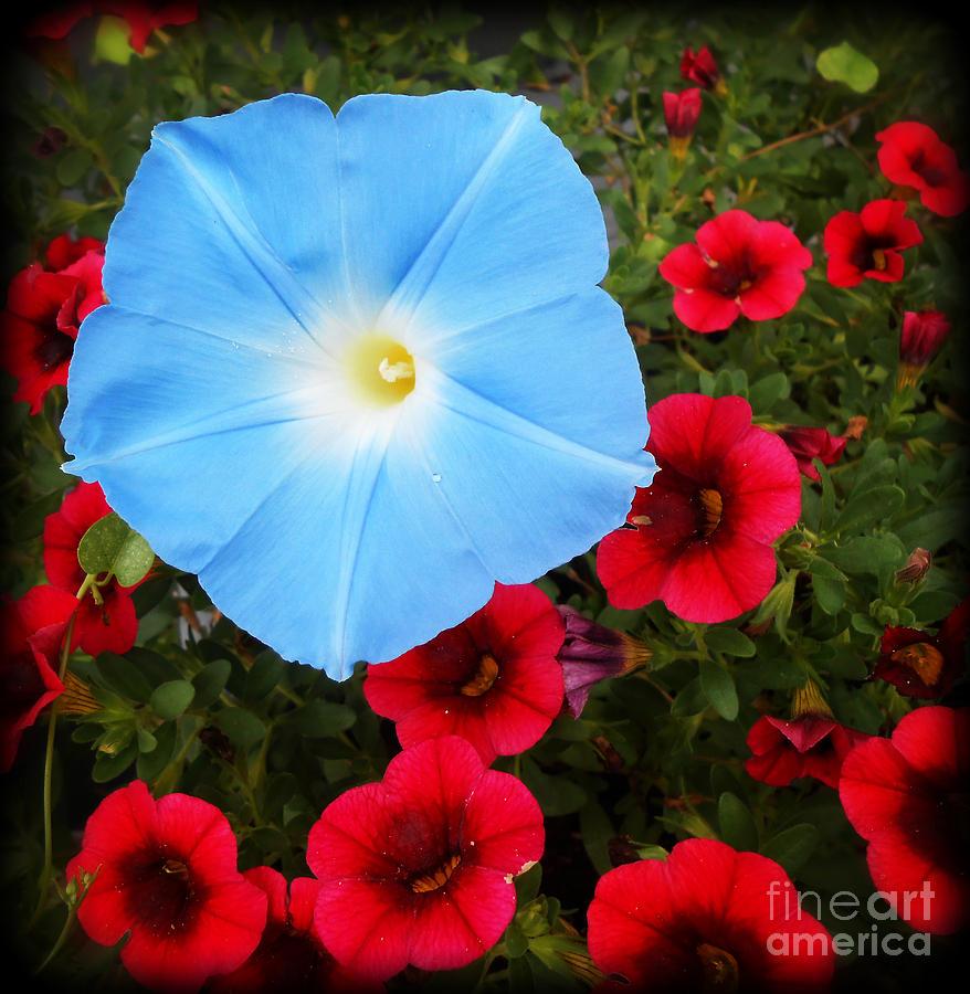 Botanical Photograph - Morning Glory Magic by Eva Thomas