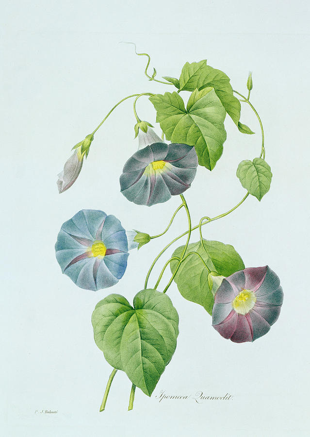 Flower Painting - Morning Glory by Pierre Joseph Redoute