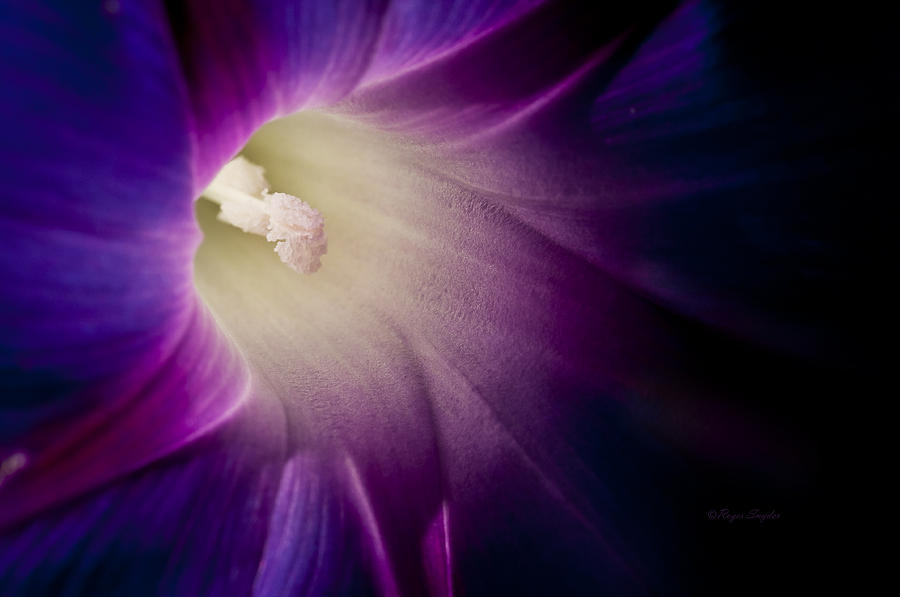 Purple Photograph - Morning Glory Purple by Roger Snyder