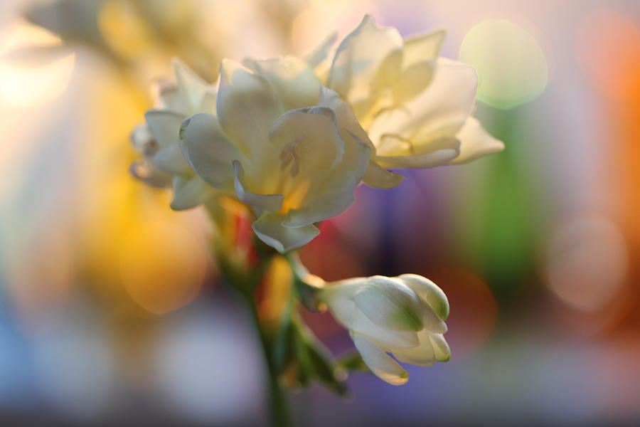 Tulips Photograph - Morning Light by Etti PALITZ