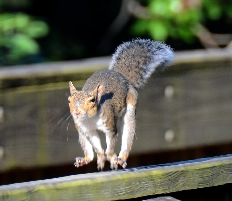 Squirrel Photograph - Morning Run by Julie Cameron